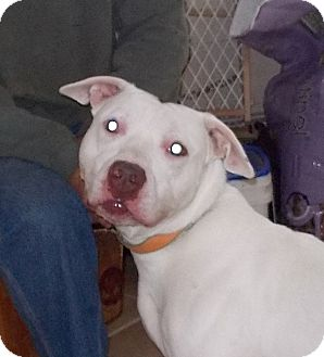 Pit Bull Terrier Mix Dog for adoption in Middletown, New York - Hennessy