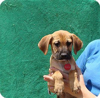 Beagle/Plott Hound Mix Puppy for adoption in Oviedo, Florida - Radio