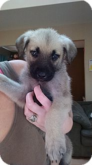 Terrier (Unknown Type, Medium)/Shepherd (Unknown Type) Mix Puppy for adoption in Hainesville, Illinois - Tiana