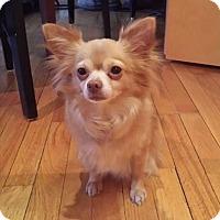 Adopt A Pet :: Blossom - Chicago, IL