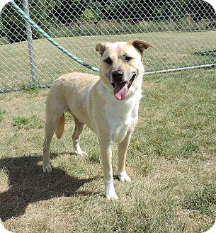Labrador Retriever/Boxer Mix Dog for adoption in Sioux City, Iowa - ELMO