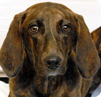 Plott Hound Dog for adoption in Newland, North Carolina - Kona