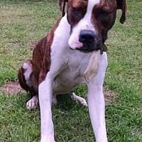 Adopt A Pet :: Baxter - Cat Spring, TX
