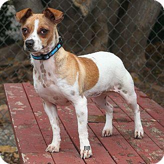 Chihuahua/Jack Russell Terrier Mix Dog for adoption in Santa Barbara, California - Rose