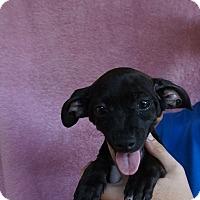 Adopt A Pet :: Laska - Oviedo, FL