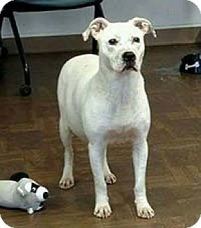 Dogo Argentino Mix Dog for adoption in Chantilly, Virginia - Pearl