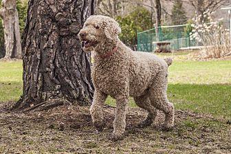 Standard Poodle Dog for adoption in Carlsbad Springs, Ontario - Einstein