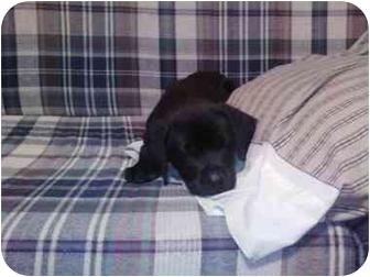 Labrador Retriever Mix Puppy for adoption in Richmond, Virginia - Black Lab pups-females