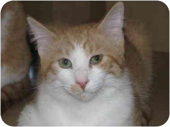 Domestic Shorthair Cat for adoption in Overland Park, Kansas - Bobby