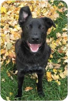 Flat-Coated Retriever/Labrador Retriever Mix Dog for adoption in Powell, Ohio - Hudson
