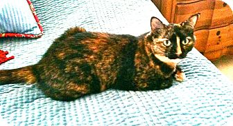 Domestic Shorthair Cat for adoption in Naples, Florida - Cubby