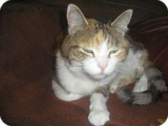 Domestic Shorthair Cat for adoption in Laguna Woods, California - Penny