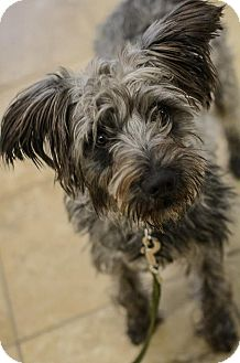 Schnauzer (Miniature) Mix Dog for adoption in Hickory Creek, Texas - Dave