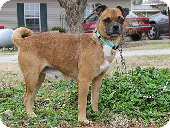 Pug Mix Dog for adoption in Hartford, Connecticut - BELLE