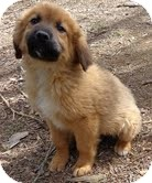 Golden Retriever/German Shepherd Dog Mix Puppy for adoption in Hagerstown, Maryland - Chipper