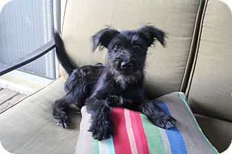 Schnauzer (Standard)/Terrier (Unknown Type, Medium) Mix Puppy for adoption in Hagerstown, Maryland - Tobin James