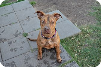 Pit Bull Terrier Mix Dog for adoption in Norman, Oklahoma - Tandi
