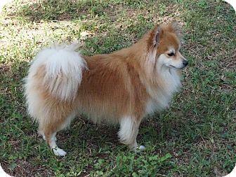 Pomeranian Mix Dog for adoption in conroe, Texas - Akiko