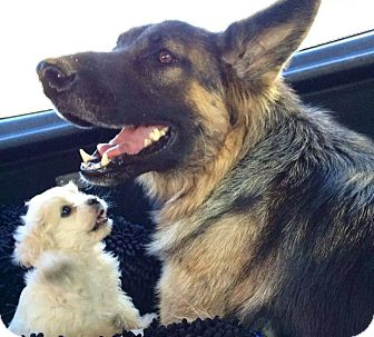German Shepherd Dog Dog for adoption in Los Angeles, California - Xena aka Tuta
