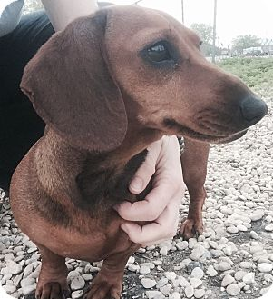 Dachshund Dog for adoption in Kirby, Texas - Gina
