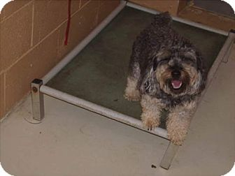 Poodle (Miniature)/Yorkie, Yorkshire Terrier Mix Dog for adoption in Newburgh, Indiana - COCO pending