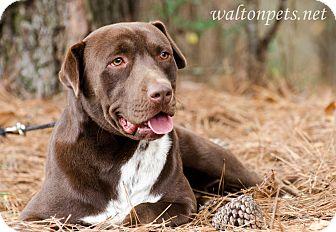 Labrador Retriever/Shar Pei Mix Dog for adoption in Monroe, Georgia - GABE