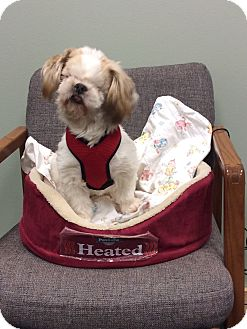 Shih Tzu Mix Dog for adoption in Mechanicsburg, Ohio - Waylen