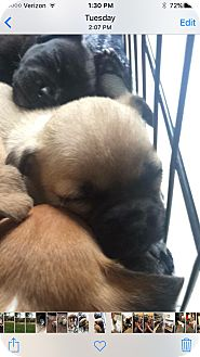 Boxer Mix Puppy for adoption in Lima, Pennsylvania - Lulu