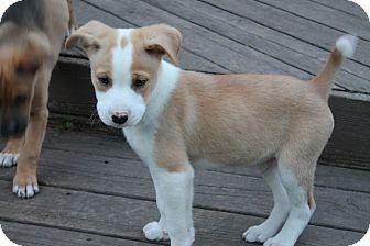 Labrador Retriever/Boxer Mix Puppy for adoption in Naperville, Illinois - Jersey