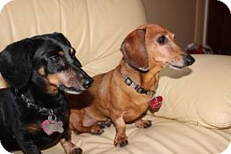 Dachshund Dog for adoption in Forest Ranch, California - Sisi and Napolean