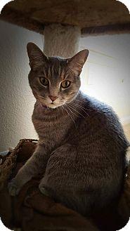 Domestic Shorthair Cat for adoption in Loveland, Colorado - Tony&Bailey