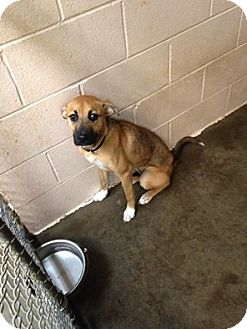 Boxer/Labrador Retriever Mix Dog for adoption in Baltimore, Maryland - Nala