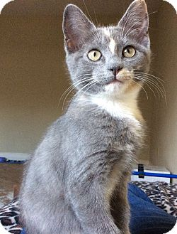 Domestic Shorthair Kitten for adoption in Tomball, Texas - Clementine