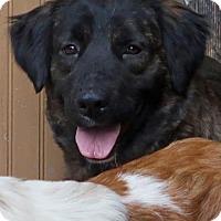 Adopt A Pet :: Harley - Saratoga, NY