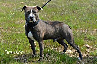 Pit Bull Terrier Mix Dog for adoption in Yreka, California - Branson