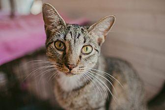 Domestic Shorthair Cat for adoption in Statesville, North Carolina - Noah