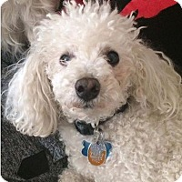 Adopt A Pet :: JoJo - Mt. Clemens, MI