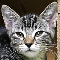 Adopt A Pet :: Cleopatra - Auburn, CA