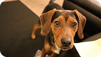 Beagle/Dachshund Mix Dog for adoption in Gallatin, Tennessee - Snoopy