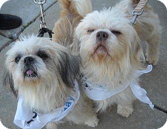 Shih Tzu Dog for adoption in Ashland, Virginia - Macey&Sabrina-ADOPTED!!!
