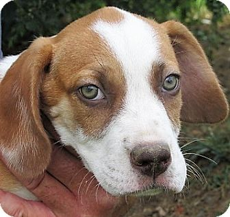 Beagle/Hound (Unknown Type) Mix Puppy for adoption in Germantown, Maryland - Marshall