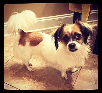 Papillon Mix Dog for adoption in Grand Bay, Alabama - Baby Girl