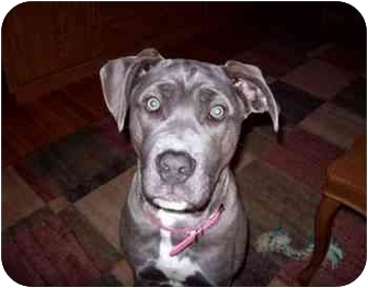 American Staffordshire Terrier Mix Puppy for adoption in Plainfield, Illinois - Mya