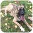 Photo 2 - Bernese Mountain Dog/German Shepherd Dog Mix Puppy for adoption in Powell, Ohio - Cassie