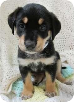 Labrador Retriever Mix Puppy for adoption in Plainfield, Illinois - Verona