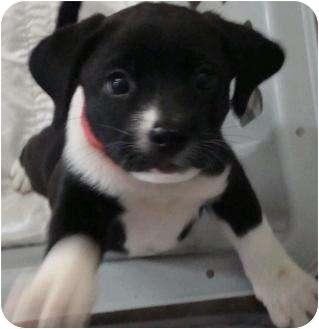 Border Collie/Australian Shepherd Mix Puppy for adoption in Phoenix, Arizona - Moonstone - gemstone pup