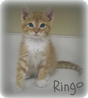 Domestic Shorthair Kitten for adoption in Cannelton, Indiana - Ringo