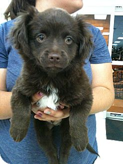 Terrier (Unknown Type, Small)/Pomeranian Mix Puppy for adoption in San Ramon, California - Russell