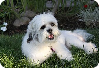 Lhasa Apso/Maltese Mix Dog for adoption in Newport Beach, California - CAMERON