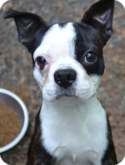 Boston Terrier Dog for adoption in Greensboro, North Carolina - Dylan